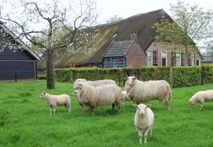boerderij met schapen